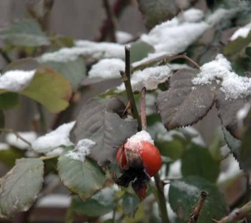 snowrosehips