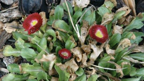 buttonflower