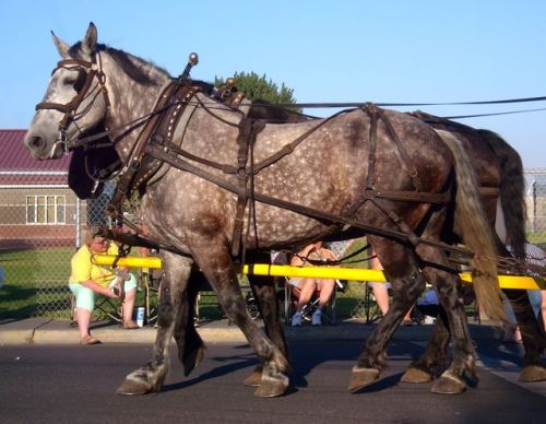dappledhorse