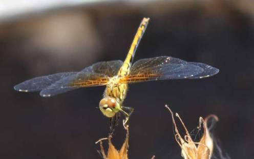 golddragonfly