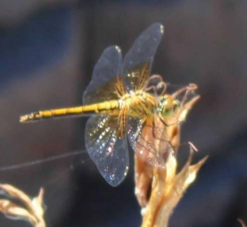 golddragonfly3