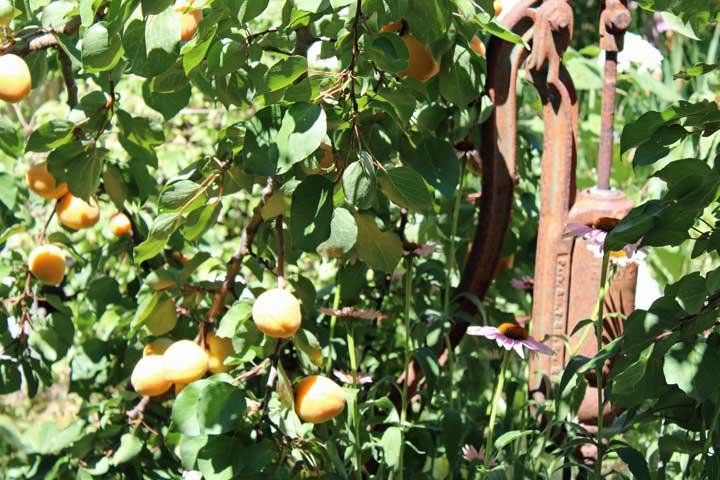 apricots3